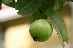 The Health Benefits Of Guavas