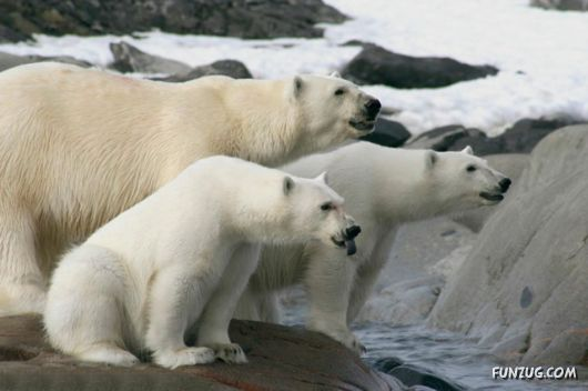 Check out these Polar Bears