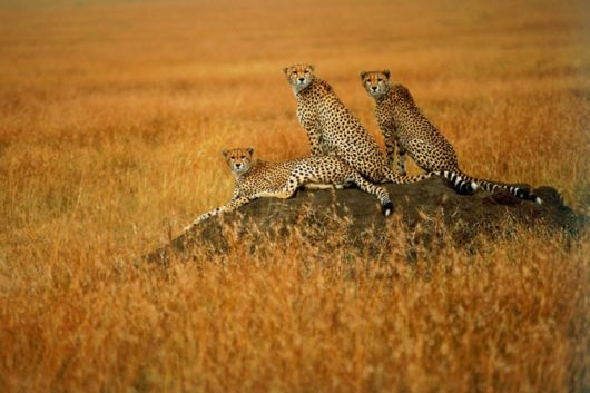 Wild Cats and Their Family
