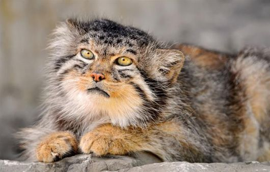 The Most Expressive Cat Breed In The World